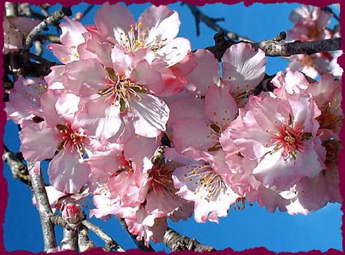 http://levieilamandier.free.fr/images/fleurs_amandier.jpg